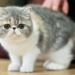 exotic-shorthair-cat1